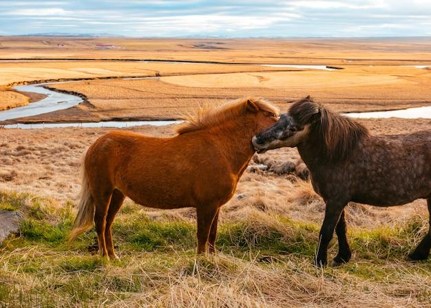 Beautiful wild ponies in the field