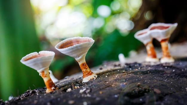 Beautiful wild reishi mushroom in rain forest at sunrise