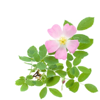 Beautiful wild rose and green leaves isolated