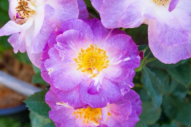 Красивые дикие розы в саду