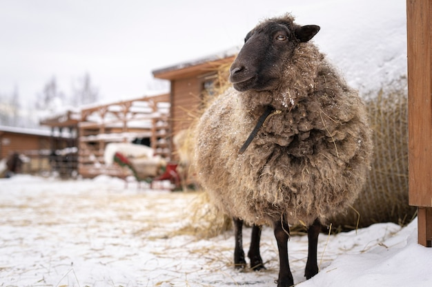 Beautiful wild sheep with large wool on farm or rancho at winter cold snowy day
