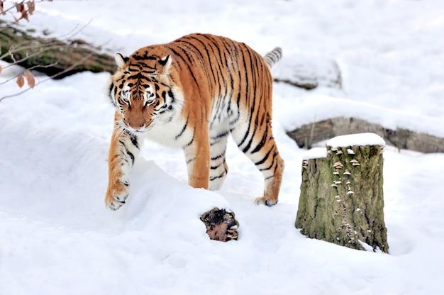 Красивый дикий сибирский тигр на снегу