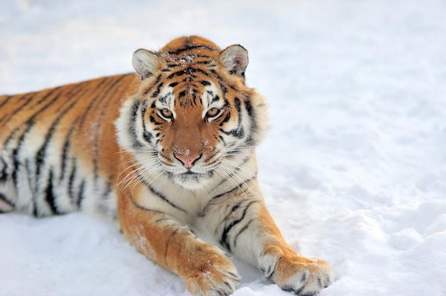 雪の上の美しい野生のシベリアトラ