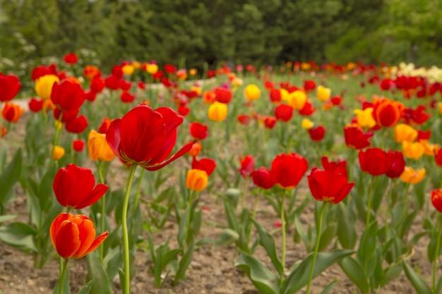 Красивое поле из полевых цветов из тюльпанов.