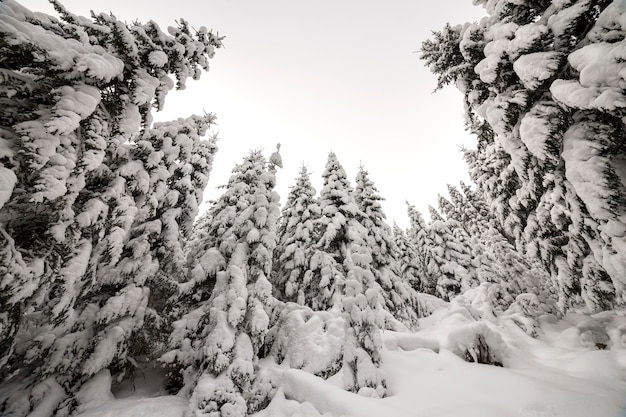 Beautiful winter landscape. dense mountain forest with tall dark green spruce trees covered with clean deep snow on bright frosty winter day.