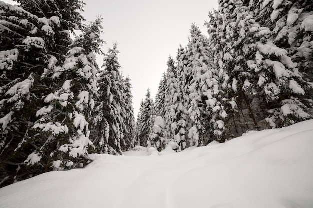 Beautiful winter landscape. dense mountain forest with tall dark green spruce trees covered with clean deep snow.