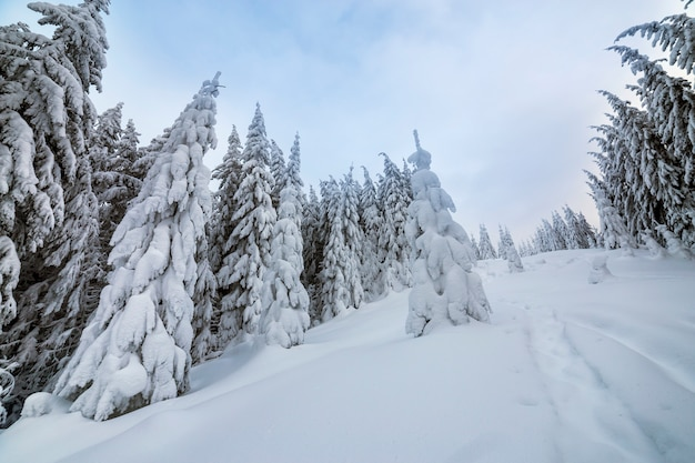 Beautiful winter landscape. dense mountain forest with tall dark green spruce trees, path in white clean deep snow.