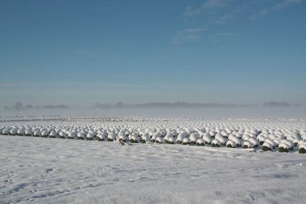 Beautiful winter landscape view with shrub rows covered with snow in brabant, netherlands