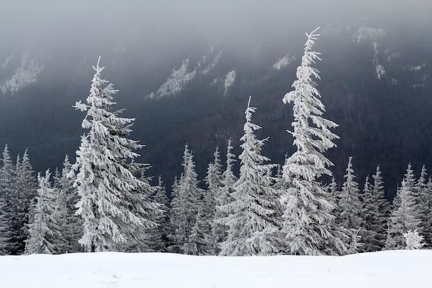 美しい冬の山の風景。背の高い暗い常緑の松の木は、暗い森のコピースペース背景に寒い晴れた日に雪と霜で覆われています。自然概念の美しさ。