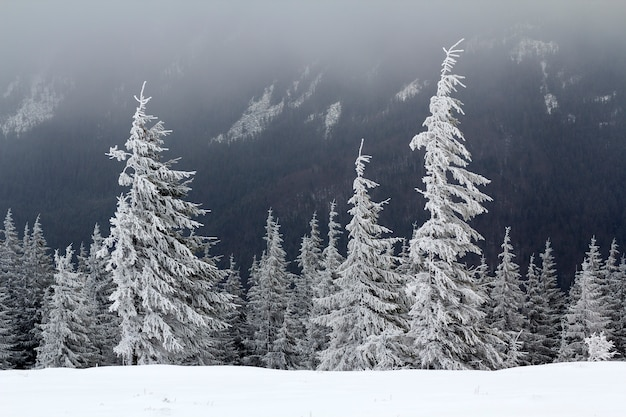 Beautiful winter mountain landscape. tall dark evergreen pine trees covered with snow and frost on cold sunny day on copy space background of dark forest. beauty of nature concept.
