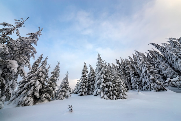 Beautiful winter mountain landscape. tall dark green spruce trees covered with snow on mountain peaks and cloudy sky background.