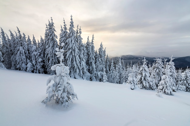 Beautiful winter mountain landscape. tall dark green spruce trees covered with snow on mountain peaks and cloudy sky .