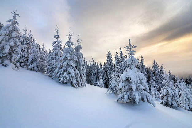 Beautiful winter mountain landscape. tall dark green spruce trees covered with snow on mountain peaks and cloudy sky.