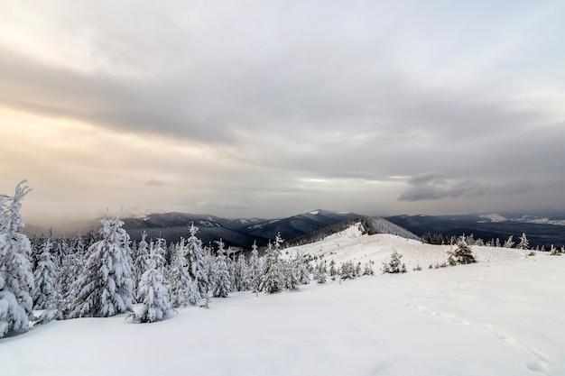 美しい冬の山の風景。山頂と曇り空の背景に雪で覆われた背の高い濃い緑色のトウヒの木。