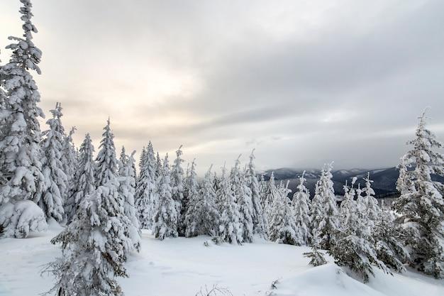 美しい冬の山の風景。背の高い濃い緑のトウヒの木は、山頂と曇り空を背景に雪で覆われています。