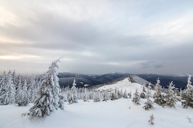 美しい冬の山の風景。背の高い濃い緑のトウヒの木は山の頂上と曇り空を背景に雪で覆われています。