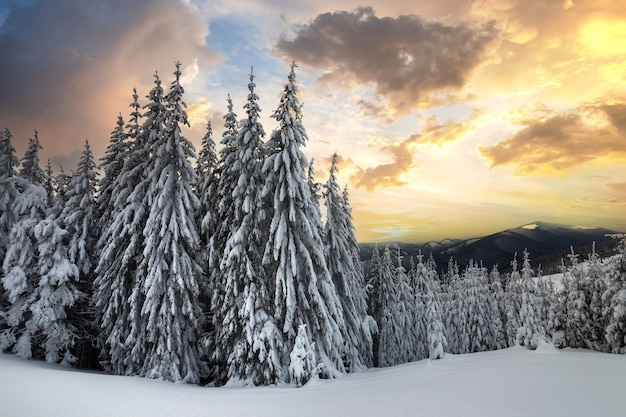 Beautiful winter mountain landscape. tall dark green spruce trees covered with snow