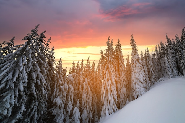 美しい冬の山の風景。冬の森と曇り空の背景に雪で覆われた背の高いトウヒの木。