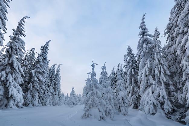 美しい冬の山の風景。背の高いトウヒの木は、冬の森と曇り空を背景に雪で覆われています。
