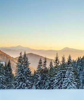 Beautiful winter panorama. landscape with spruce pine trees, blue sky with sun light and high carpathian mountains