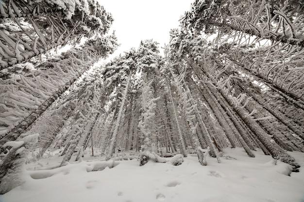 美しい冬の写真。背の高いトウヒの木は、澄んだ空の背景に深い雪と霜で覆われています。新年あけましておめでとうございます、メリークリスマスのグリーティングカード。