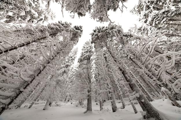 美しい冬の写真。背の高いトウヒの木は、澄んだ空の背景に深い雪と霜で覆われています。