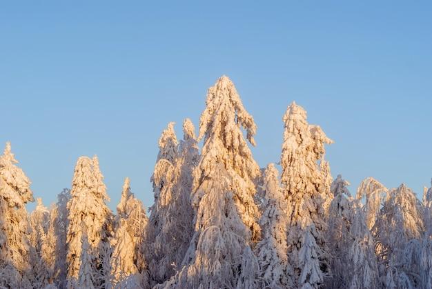 Красивый зимний снежный лес с покрытыми инеем деревьями ясным солнечным ранним вечером