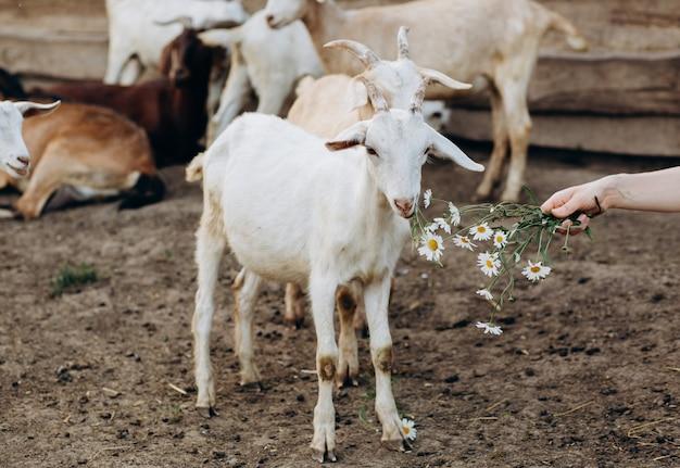 Красивая женщина в белом платье и в бежевой шляпе среди коз на эко-ферме