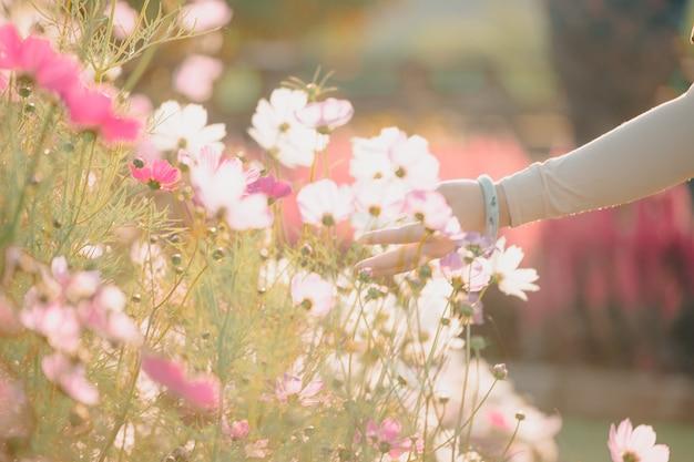 日没時にコスモスの花を持っている美しい女性の手