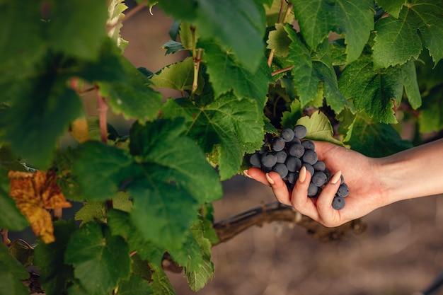美しい女性のソムリエは収穫前にブドウをチェックします。女性のワイン醸造業者によってチェックされているブドウ園のクローズアップブドウ