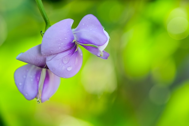 Beautiful yardlong beans flower in the garden