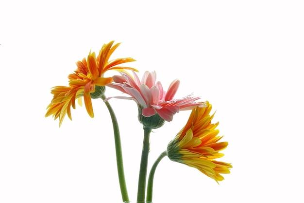 白い背景の上の美しい黄色とピンクのガーベラガーベラjamesonii花