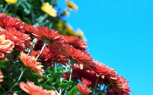 コピースペースとしての青い空を背景にした美しい黄色と赤の菊の配置