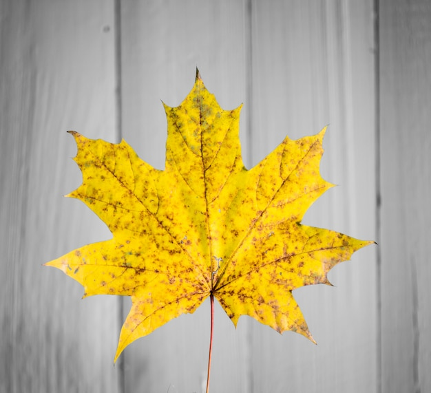 Beautiful yellow autumn leaf on old white wood closeup