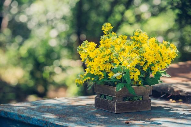 Букет красивых желтых колокольчиков цветущих lysimachia vulgaris (вербейник садовый, вербейник желтый или вербейник садовый) в деревянном ящике в летнем ботаническом саду.
