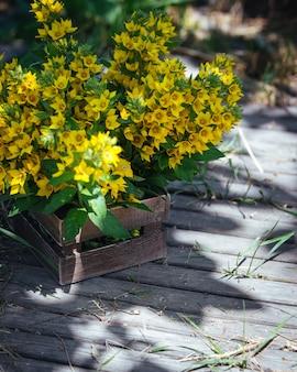 Красивый букет из желтых колокольчиков цветущих lysimachia vulgaris (вербейник садовый, вербейник желтый или вербейник желтый садовый) в деревянном ящике.
