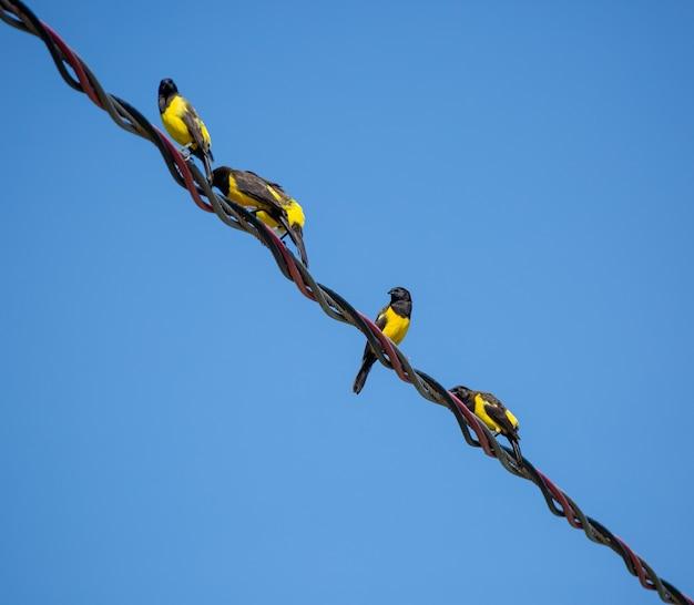고압 전선 기둥에 아름다운 노란 새들