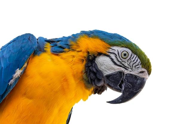 美しい黄青コンゴウインコ、canindコンゴウインコの肖像画