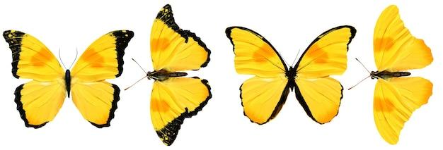 白い背景で隔離の美しい黄色の蝶。 4つの熱帯の蛾