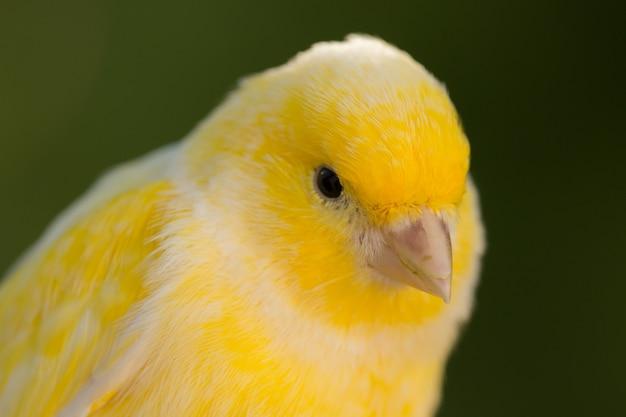 美しい黄色カナリア諸島