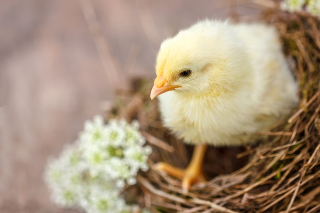 Beautiful yellow chick on the natural background in the nest.