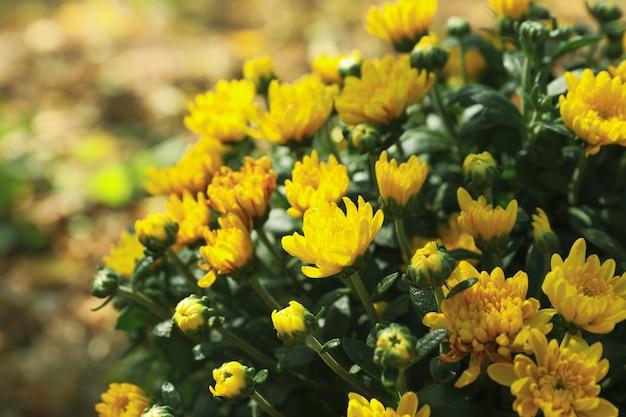 美しい黄色の菊、クローズアップとテキストのためのスペース