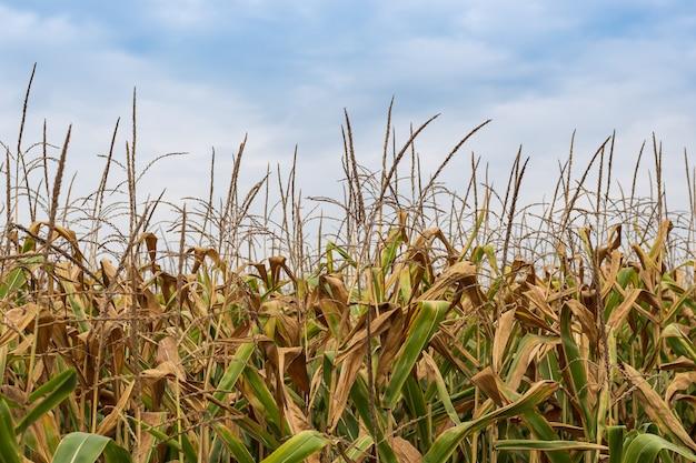 Beautiful yellow corn field farmland work nature background