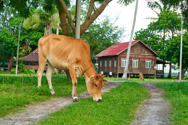 A beautiful yellow cow grazes in the meadow in front of the house. a farm on a tropical island.