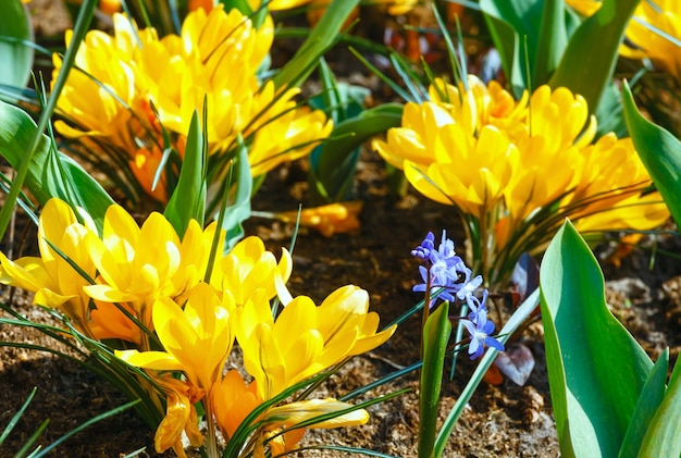 春の美しい黄色いクロッカス(マクロ)