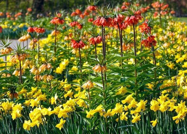 Красивые желтые нарциссы и красные цветы в весеннем парке