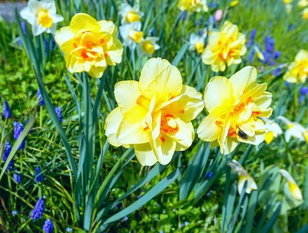 Красивые желтые нарциссы весной (крупный план)
