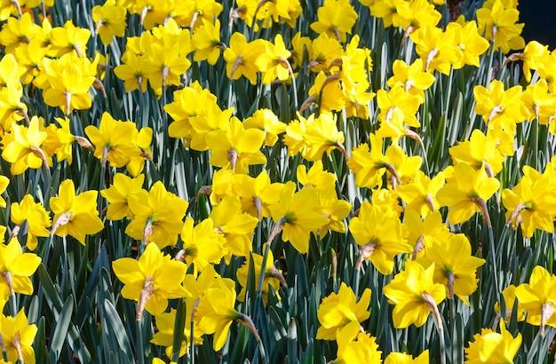 Красивые желтые нарциссы весной