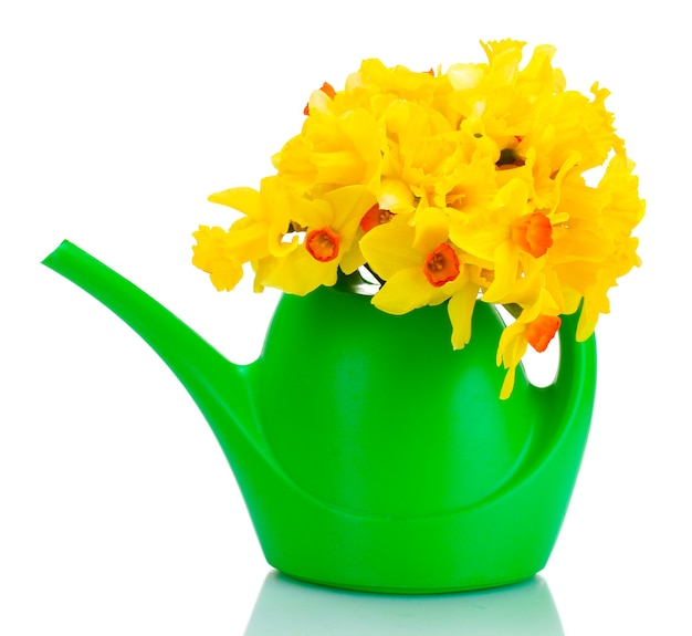 Beautiful yellow daffodils in  watering can isolated on white