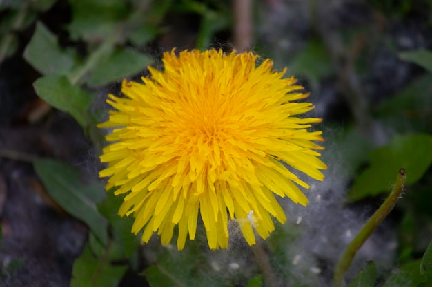 Beautiful yellow dandelion and white fluff with a tree around
